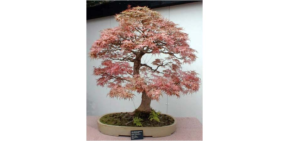 bonsai-club.jpg