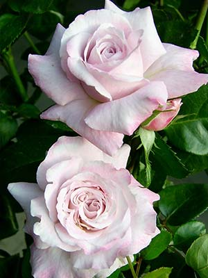 smooth-stem-bush-roses.jpg