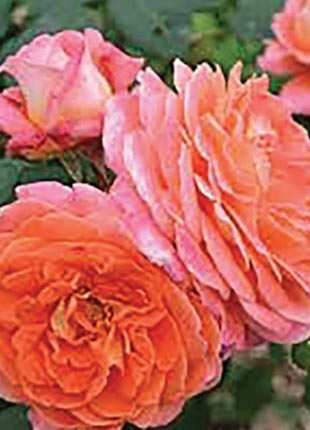 Notre Dame Rosarie - 2019 New Release Roses