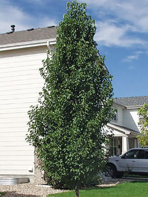 Mini-Capital-Ornamental-Pear-op.jpg