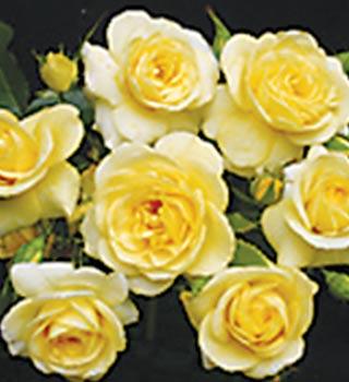 Gardenarium Floribunda Bush Roses